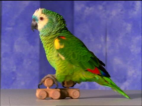 green parrot moving on wooden roller skates - animale da spettacolo video stock e b–roll