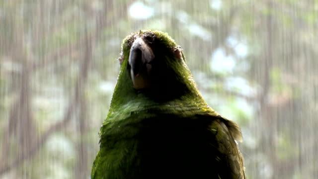 Green Parrot under rain III...close up