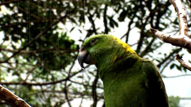 green parrot under rain...close up - parrot stock videos & royalty-free footage