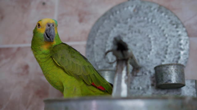 green parrot - mesquita stock videos & royalty-free footage