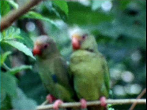 stockvideo's en b-roll-footage met green parrots perch on a leafy branch. - neerstrijken
