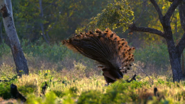 green peafowl spreading its tail feather (indonesia) - animal hair stock-videos und b-roll-filmmaterial