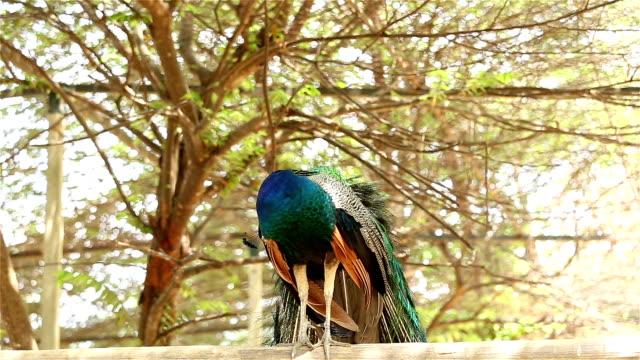 グリーン peafowl - 翼を広げる点の映像素材/bロール