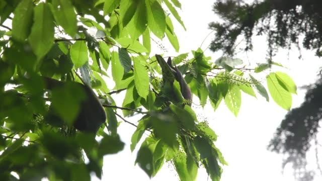 vídeos de stock, filmes e b-roll de pombo verde (treron sieboldii) ilhas curilas - low angle view