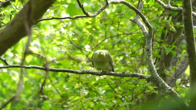 green pigeon (treron sieboldii) kuril islands - one animal stock videos & royalty-free footage