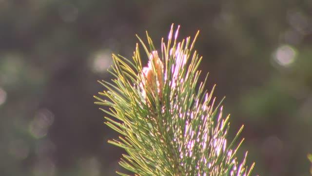 green pine branch - nadel pflanzenbestandteile stock-videos und b-roll-filmmaterial
