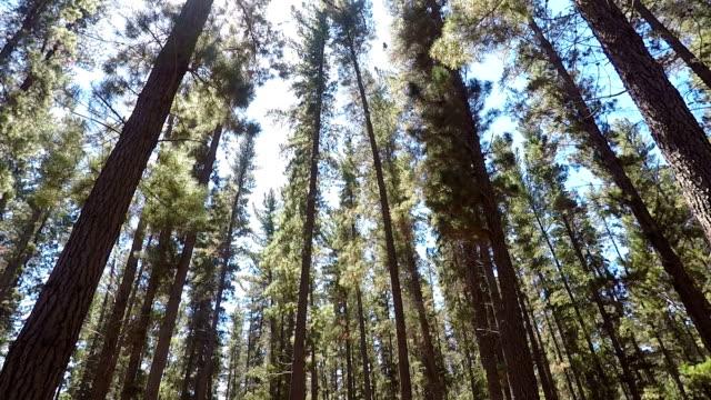 green pine forest wonderland - pine stock videos & royalty-free footage