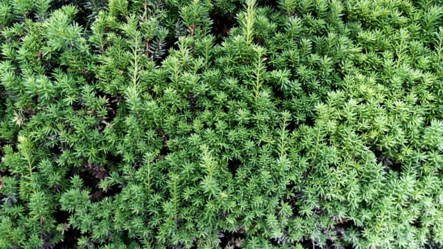 green pine leaves as wall under light - vine stock videos & royalty-free footage