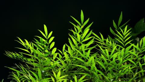 vídeos y material grabado en eventos de stock de planta verde sobre fondo negro - hierba familia de la hierba