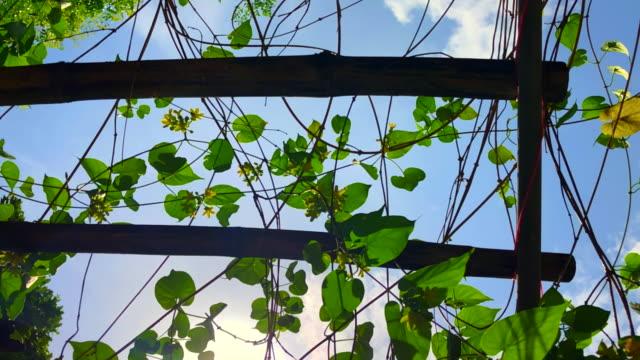 vidéos et rushes de plante verte avec fleur grimpeur bambou pergola sous la brise vent à faible angle de vue jusqu'à ciel - bamboo plant