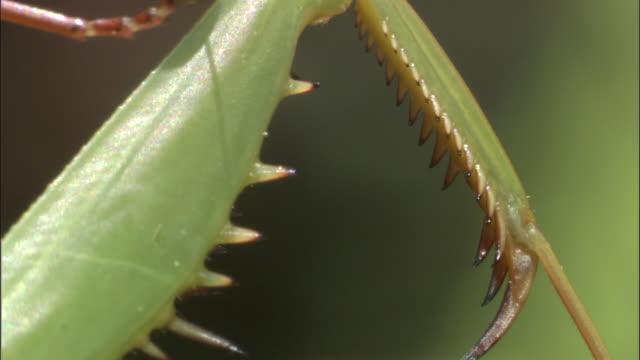 Green praying mantis, Borneo
