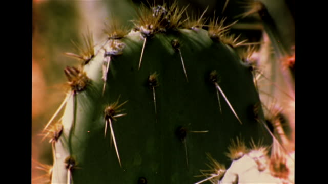 green prickly pear cactus w/ sharp spines, hedgehog cactus, vs yellow, red & pink cacti flowers blooming, insects on petals. pb, light spots, plants,... - prickly pear cactus stock videos & royalty-free footage
