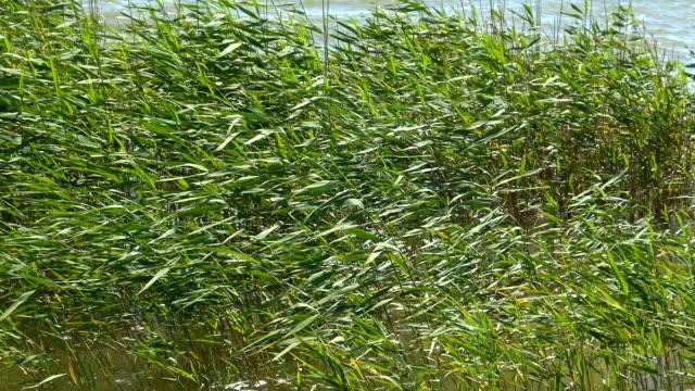 vidéos et rushes de roseaux vert, gros plan - bras mort de cours d'eau