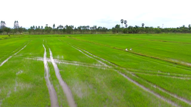 green rice field in the morning - animal antenna stock videos & royalty-free footage