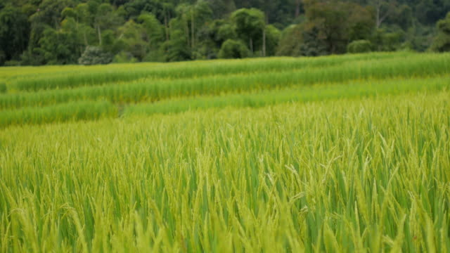 green rice field nature footage background - paddy field stock videos & royalty-free footage
