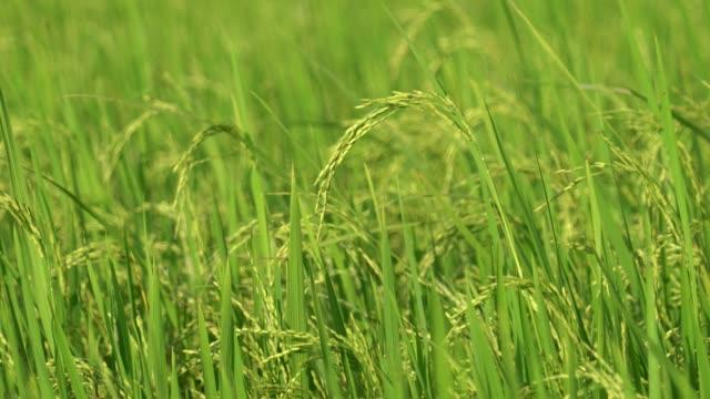 green rice field - モミ点の映像素材/bロール
