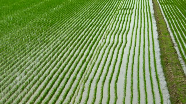 Green rice fields / Paddy field
