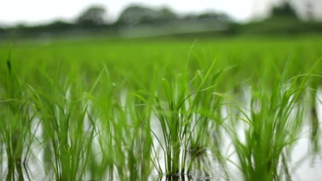 vídeos de stock, filmes e b-roll de campos verdes do arroz com vento - arroz alimento básico