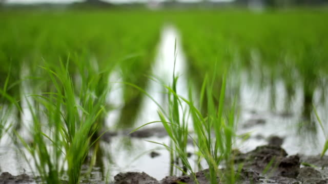 green rice fields with wind - paddy field stock videos & royalty-free footage