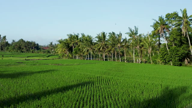 green rice paddy field in bali - rice paddy stock videos & royalty-free footage
