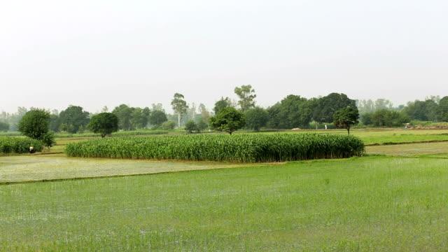 Groene Rice Paddy Field