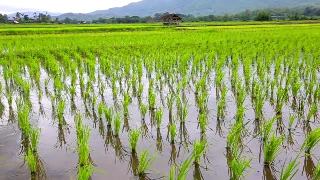 Grüne Pflanzen Reisfeld