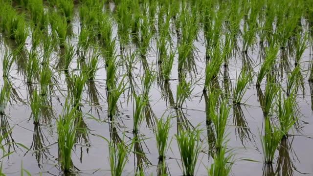 green reis aussaat feld - cereal plant stock-videos und b-roll-filmmaterial