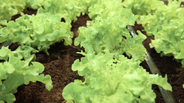 vidéos et rushes de salade verte biologique de plus en plus dans la ferme. - salade verte