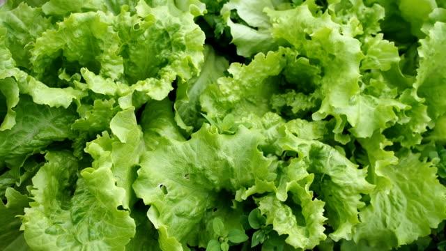 Groene salade voedingsbodem in de serre in HD