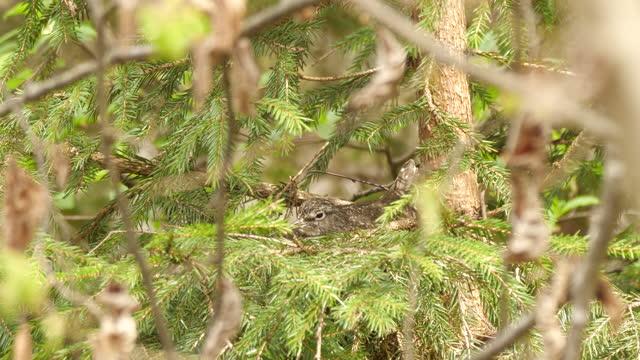 巣の上に座る緑のサンドパイパー(トリンガ・オクロプス)、ベラルーシ - クサシギ属点の映像素材/bロール
