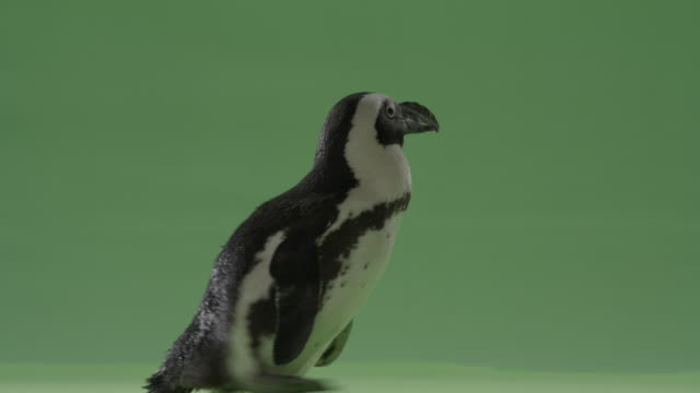 green screen close up penguin raises his wings, then shakes his head like a dog. - penguin stock videos and b-roll footage