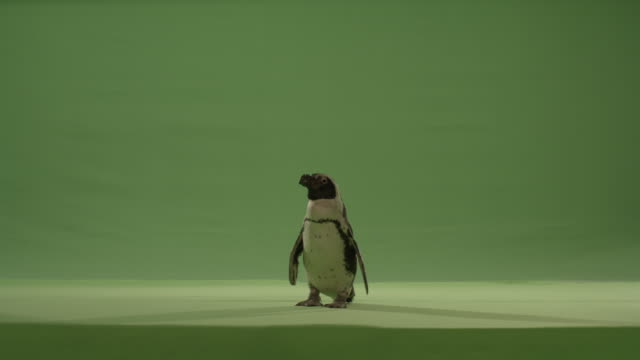 Green screen penguin stands in one place and looks curiously at camera.