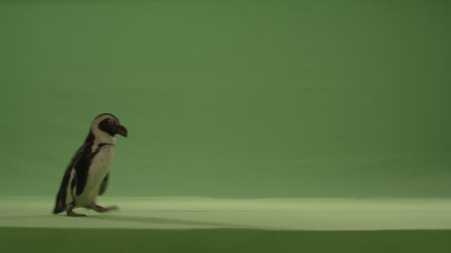 green screen penguin walks across bottom diagonal of frame left to right. - bird stock videos & royalty-free footage
