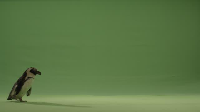 green screen penguin walks across bottom of frame left to right, dances next to l frame. - ペンギン点の映像素材/bロール