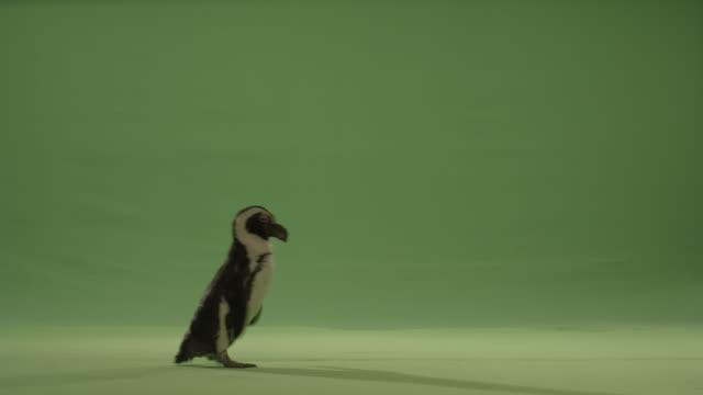 Green screen penguin walks across bottom of frame left to right.