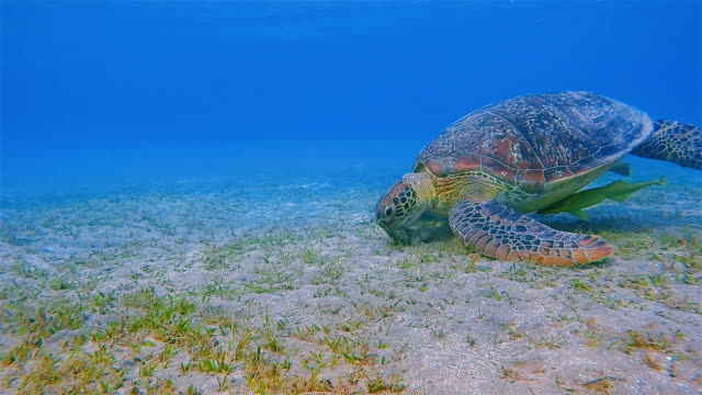 Green Sea Turtle and Remora Fish grazing in Red Sea / Marsa Alam