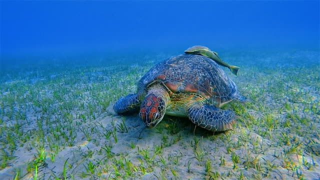Green Sea Turtle and Remora Fish grazing on Seagrass Bed in Red Sea / Marsa Alam