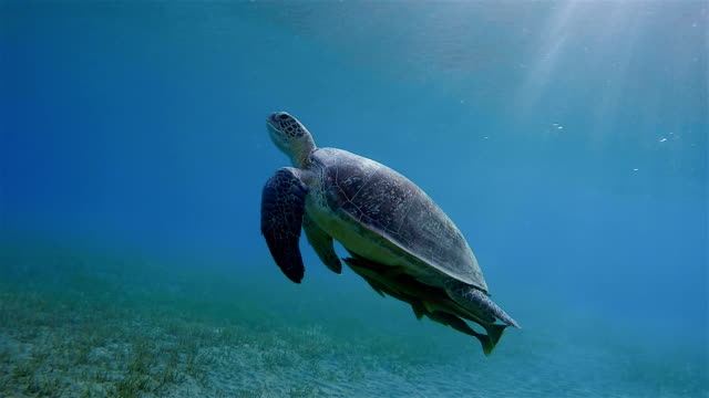 green sea turtle and remora fish swimming about seagrass bed / marsa alam - sottomarino subacqueo video stock e b–roll