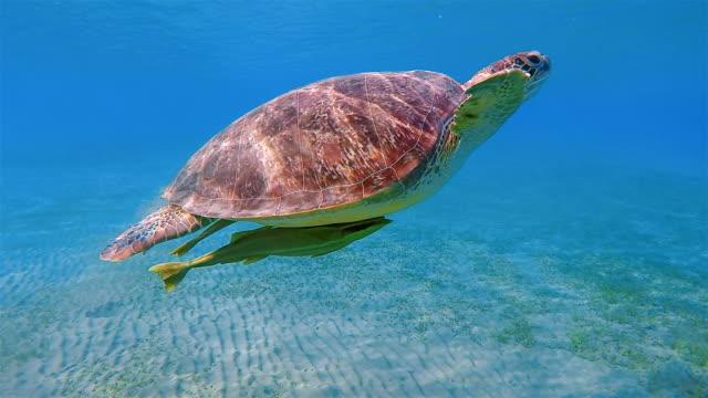 Green Sea Turtle und Remora Fische schwimmen im Roten Meer / Marsa Alam