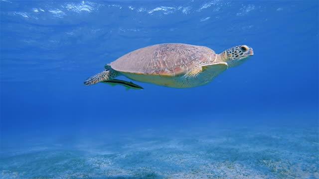 Green Sea Turtle and Remora Fish swimming in Red Sea / Marsa Alam