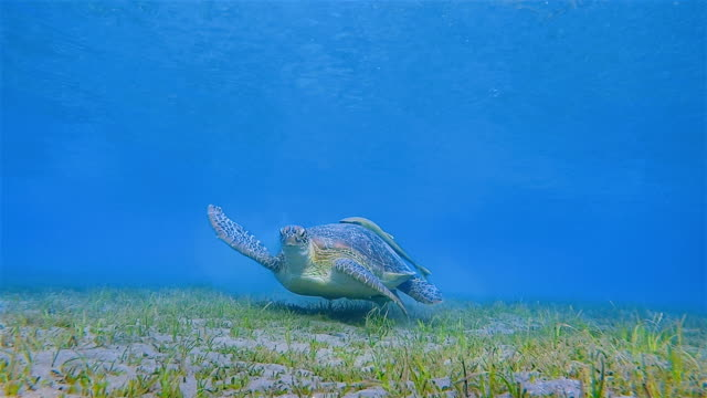 green sea turtle and remora fish swimming in red sea / marsa alam - sea grass plant stock videos & royalty-free footage