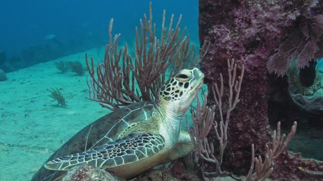 green sea turtle benwood slow motion - green turtle stock videos and b-roll footage
