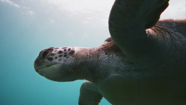 green sea turtle checking camera in slow motion - chelonioidea stock-videos und b-roll-filmmaterial
