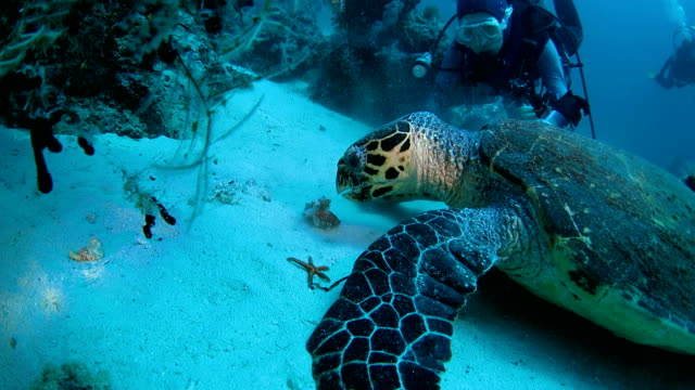 Green sea turtle eat soft coral