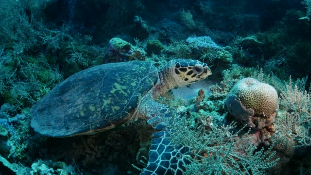 Green sea turtle eating coral underwater on a reef