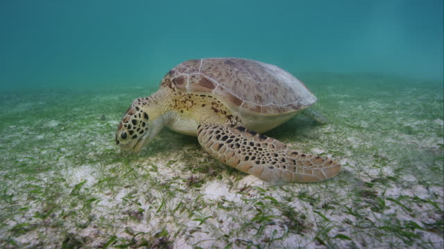 Green Sea Turtle eating sea grass