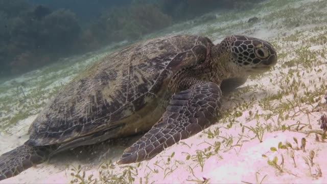 green sea turtle eating sea grass - feeding stock videos & royalty-free footage