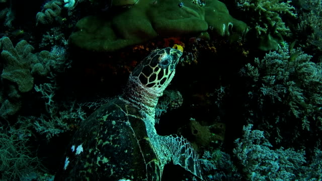 green sea turtle eating soft coral and seaweed - soft coral stock videos & royalty-free footage