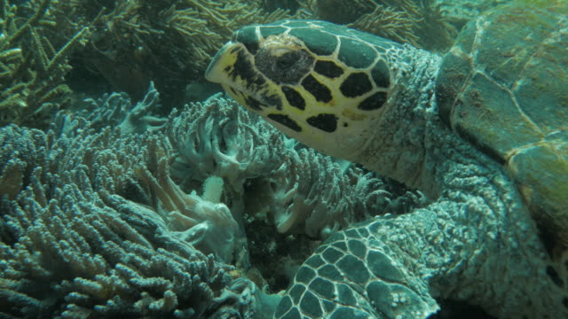 green sea turtle eating soft coral close up - soft coral stock videos & royalty-free footage