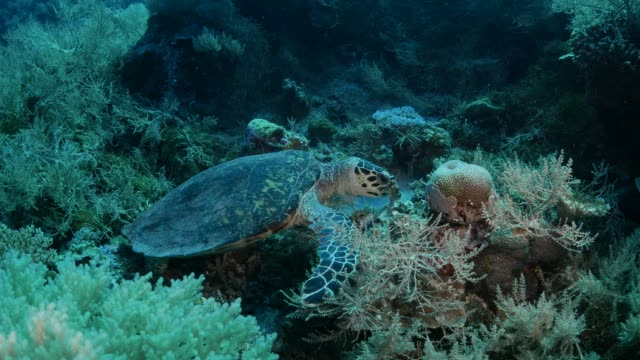 green sea turtle eating soft coral in reef - sea turtle stock videos & royalty-free footage